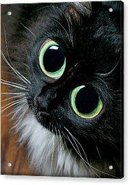 Big Eyed Cat Begging Portrait Acrylic Print by Berkehaus Photography