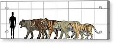 Big Felines Size Chart Acrylic Print by Vitor Silva