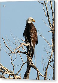 Big Horn Bald Eagle Acrylic Print