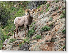 Bighorn Sheep Acrylic Print by Kathy Eastmond