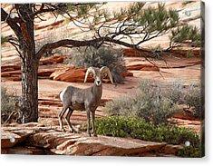 Big Horn Zion National Park Ut Acrylic Print