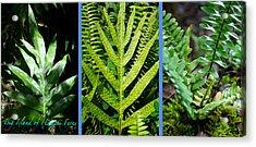 Big Island Of Hawaii Ferns Acrylic Print by Colleen Cannon