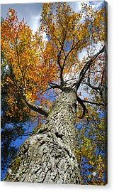 Big Orange Maple Tree Acrylic Print by Christina Rollo