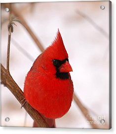 Acrylic Print featuring the photograph Big Red  Cardinal Bird In Snow by Peggy Franz