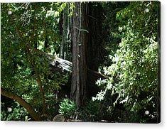 Big Sur Big Trees Acrylic Print