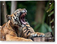 Big Yawn Acrylic Print by Ray Warren