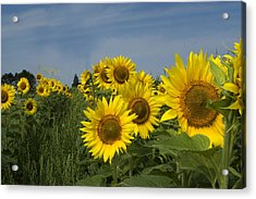 Big Yellow Sunflowers In A Michigan Field Acrylic Print by Diane Lent