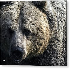Bigger Than The Average Bear Acrylic Print by Rick Bransby