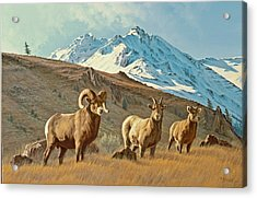 Bighorn Below Electric Peak Acrylic Print by Paul Krapf