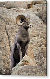 Acrylic Print featuring the photograph Bighorn Big Boy by Kevin Munro