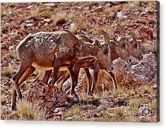 Acrylic Print featuring the photograph Bighorn Canyon Sheep Trio by Janice Rae Pariza