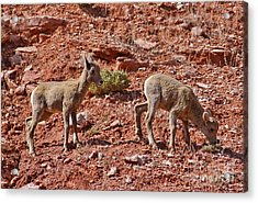 Acrylic Print featuring the photograph Bighorn Canyon Sheep Wyoming by Janice Rae Pariza