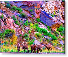 Acrylic Print featuring the photograph Bighorn Grazing Convention by Ann Johndro-Collins