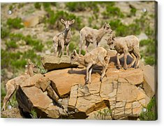 Acrylic Print featuring the photograph Bighorn Playground by Aaron Whittemore