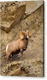 Acrylic Print featuring the photograph Bighorn  by Aaron Whittemore