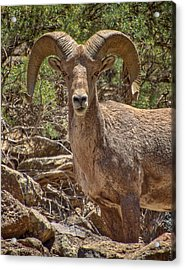 Acrylic Print featuring the photograph Bighorn Ram by Britt Runyon