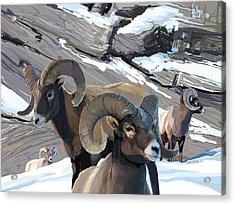 Bighorn Rams Acrylic Print