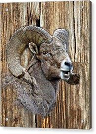 Bighorn Sheep Barnwood Acrylic Print