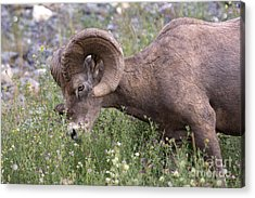 Acrylic Print featuring the photograph Bighorn Sheep by Chris Scroggins
