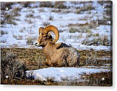 Bighorn Sheep Acrylic Print by Greg Norrell