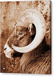 Bighorn Sheep Profile Acrylic Print by Ramona Johnston