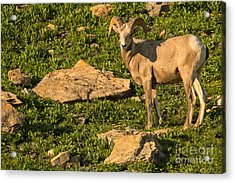 Bighorn Sheep Ram In Glacier 2 Acrylic Print by Natural Focal Point Photography
