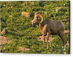 Bighorn Sheep Ram In Glacier 3 Acrylic Print by Natural Focal Point Photography