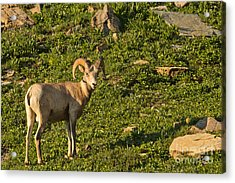Bighorn Sheep Ram In Glacier 4 Acrylic Print by Natural Focal Point Photography