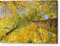 Bigtooth Canopy Acrylic Print