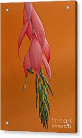 Bilbergia  Windii Blossom Acrylic Print by Heiko Koehrer-Wagner