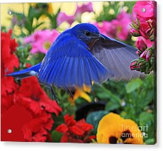 Billy Bluebird Landing Acrylic Print