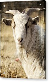 Billy Goat Acrylic Print