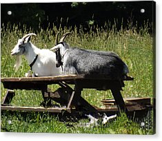 Billy Goats Picnic Acrylic Print by Brenda Brown