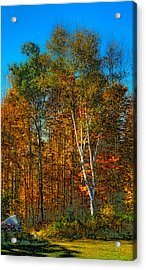 Birch Among The Maples Acrylic Print by David Patterson