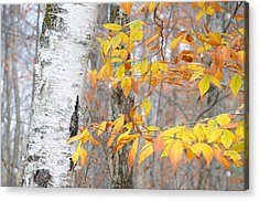 Birch And Beech Acrylic Print by Paul Miller