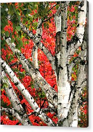 Acrylic Print featuring the photograph Birch Eclipsing Maple by Doris Potter