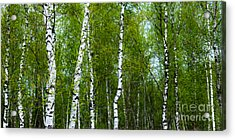 Birch Forest Acrylic Print by Hannes Cmarits