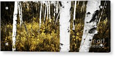Birch Forest I Acrylic Print