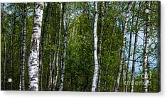 Birch Forest In The Summer Acrylic Print by Hannes Cmarits