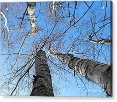 Birch Group In Winter Acrylic Print