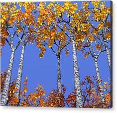 Birch Grove Acrylic Print by Cynthia Decker