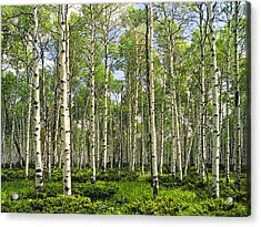 Birch Tree Grove In Summer Acrylic Print by Randall Nyhof