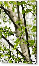 Birch Tree In Spring Acrylic Print