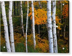 Birch Tree Pan Acrylic Print