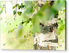 Birch Tree. The Soul Of Russian Nature Acrylic Print by Jenny Rainbow
