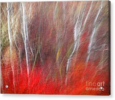 Birch Trees Abstract Acrylic Print