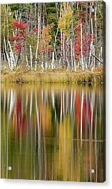 Birch Trees And Autumn Colors On Red Acrylic Print