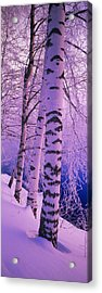 Birch Trees At The Frozen Riverside Acrylic Print