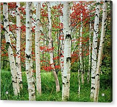 Birch Trees In Autumn, Acadia National Acrylic Print