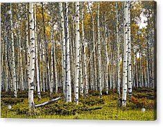 Aspen Trees In Autumn Acrylic Print by Randall Nyhof